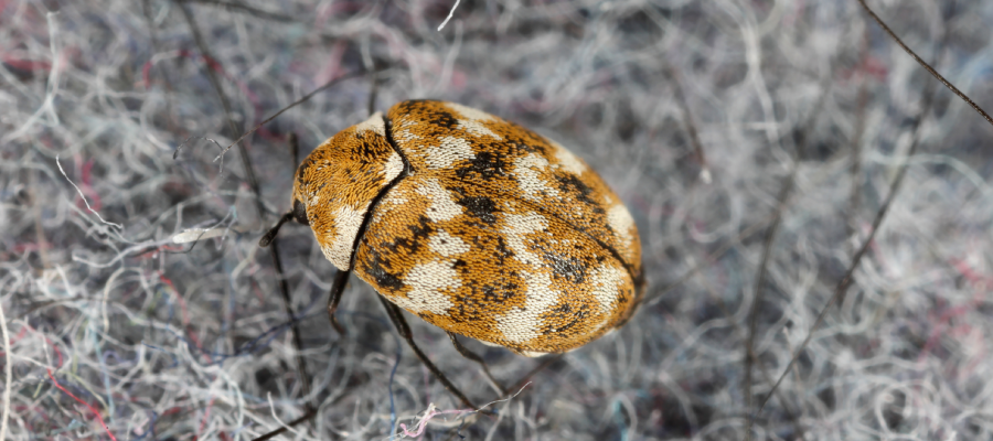 Carpet beetles are a common household pest in Louisiana - Dugas Pest Control