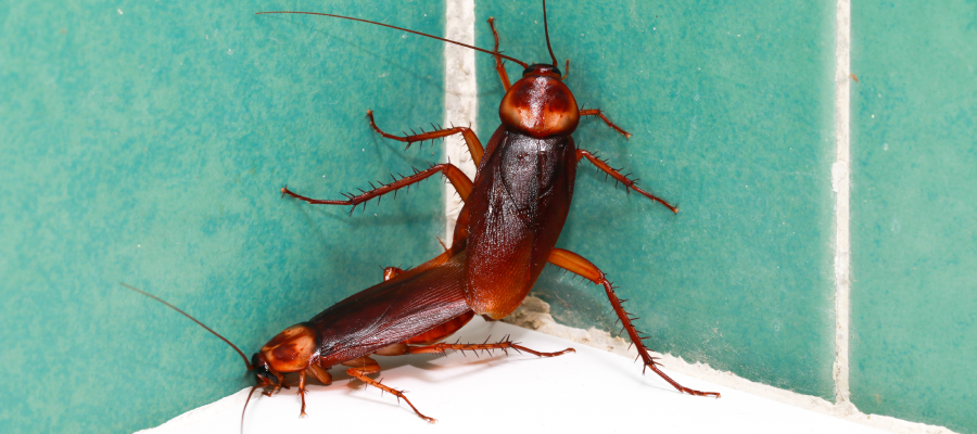 Cockroaches are a common household pest in Louisiana - Dugas Pest Control