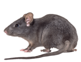 Rat Extermination in Baton Rogue and New Orleans LA - Dugas Pes Control